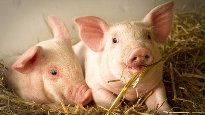Import Export Pork